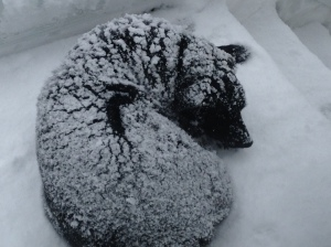 "Our Dog ""Bear"" loves to curl up in the snow!"