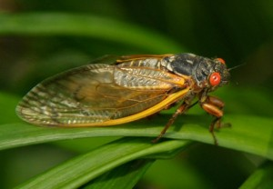 Cicada of Tennessee