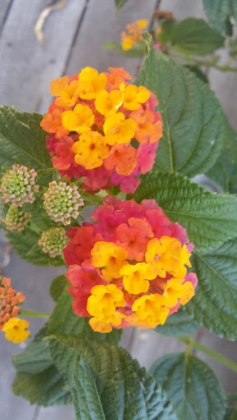 Very cool flower - pink, orange, and yellow - Wow!